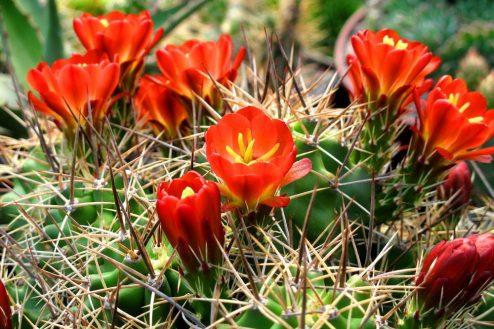 ehinocerusy 2 kaktusy